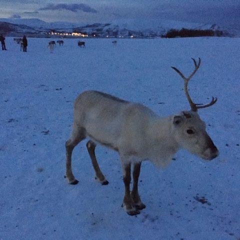 reindeer-one-antler